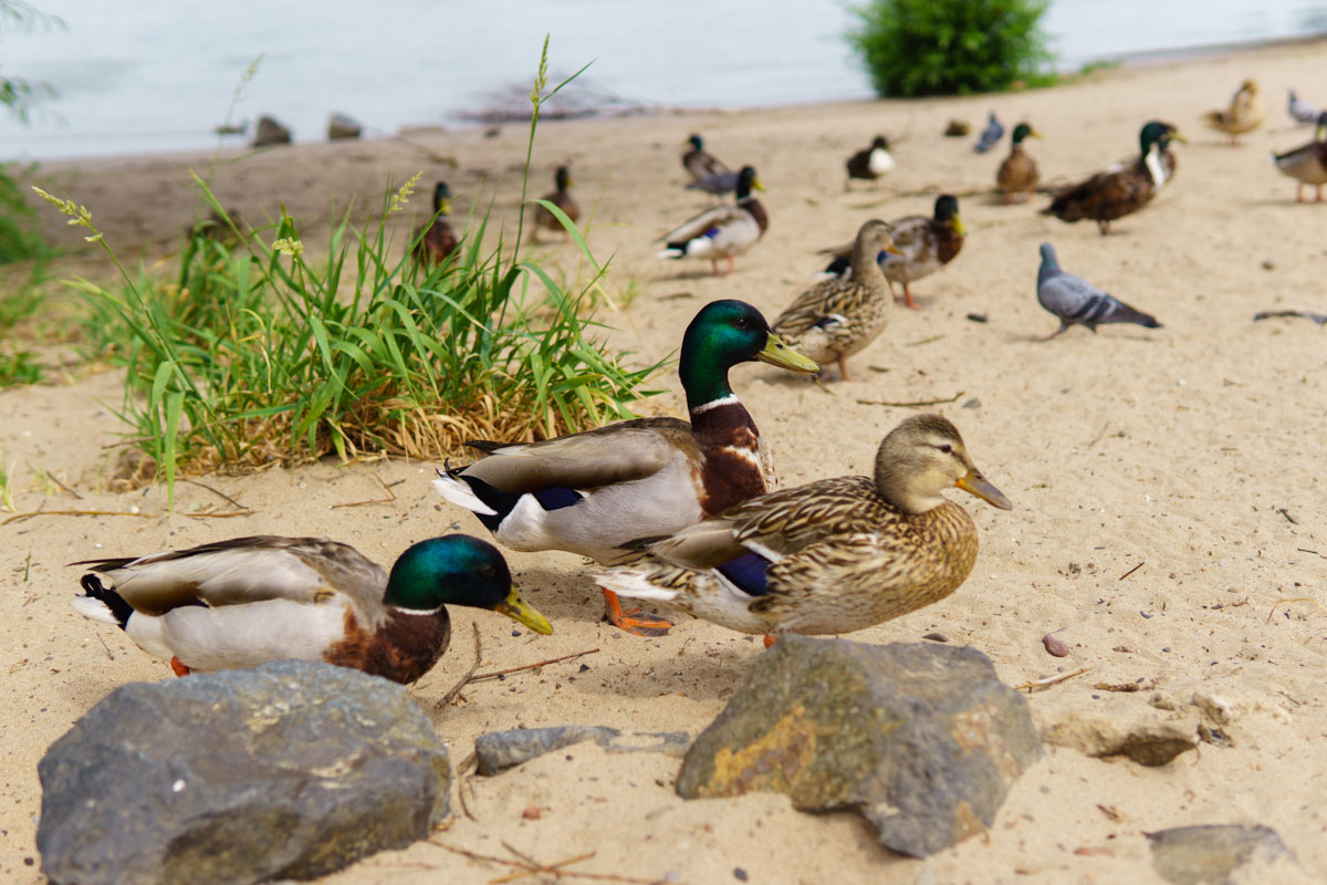 Enten am Rodenkirchner Strand